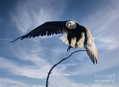 Steven Krull Royalty-Free and Rights-Managed Images - Bald Eagles Getting Air by Steven Krull