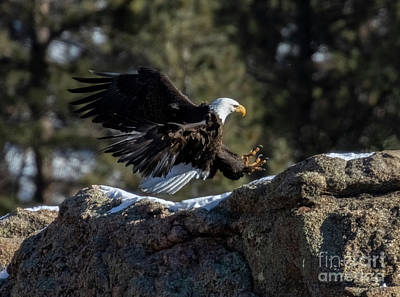 Steven Krull Royalty-Free and Rights-Managed Images - Bald Eagles landing in Eleven Mile Canyon by Steven Krull