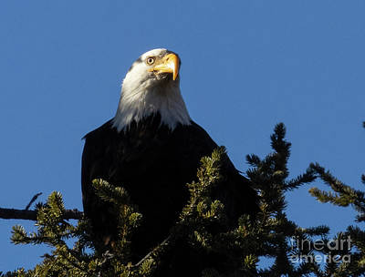 Steven Krull Royalty-Free and Rights-Managed Images - Bald Eagles Perched at Eleven Mile Canyon by Steven Krull