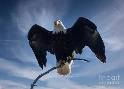 Steven Krull Royalty-Free and Rights-Managed Images - Bald Eagles Spreading His Wings Wide by Steven Krull