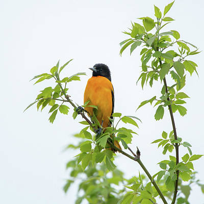 Animals Photos - Baltimore Oriole 2021 01 by Judy Tomlinson