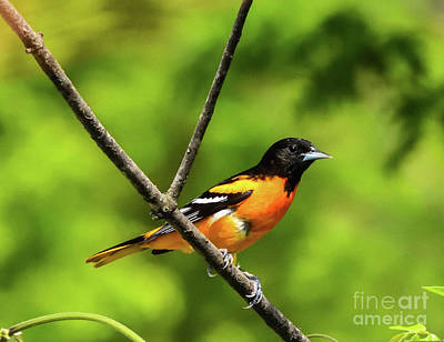 Abstract Stripe Patterns - Baltimore Oriole Always A Welcom Visitor by Cindy Treger