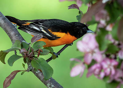 Sean - Baltimore Oriole in The Spring by Ricky L Jones