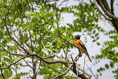 Amy Weiss - Baltimore Oriole in the Treetop by Debra Martz