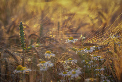 World Forgotten Rights Managed Images - Barley and Daisies No 1 Royalty-Free Image by Chris Fletcher