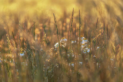 World Forgotten Rights Managed Images - Barley and Daisies No 10 Royalty-Free Image by Chris Fletcher