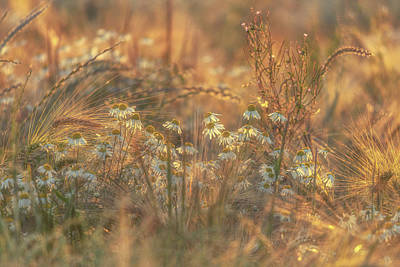 World Forgotten Rights Managed Images - Barley and Daisies No 11 Royalty-Free Image by Chris Fletcher