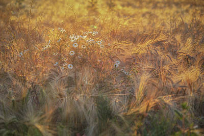 World Forgotten Rights Managed Images - Barley and Daisies No 12 Royalty-Free Image by Chris Fletcher