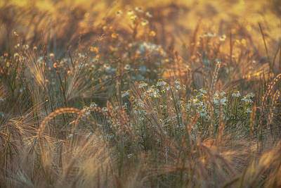 World Forgotten Rights Managed Images - Barley and Daisies No 13 Royalty-Free Image by Chris Fletcher