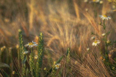 World Forgotten Rights Managed Images - Barley and Daisies No 3 Royalty-Free Image by Chris Fletcher