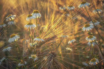 World Forgotten Rights Managed Images - Barley and Daisies No 4 Royalty-Free Image by Chris Fletcher