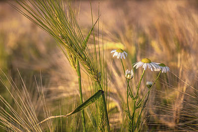 World Forgotten Rights Managed Images - Barley and Daisies No 5 Royalty-Free Image by Chris Fletcher