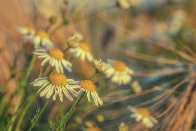 World Forgotten Rights Managed Images - Barley and Daisies No 6 Royalty-Free Image by Chris Fletcher