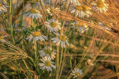 World Forgotten Rights Managed Images - Barley and Daisies No 7 Royalty-Free Image by Chris Fletcher