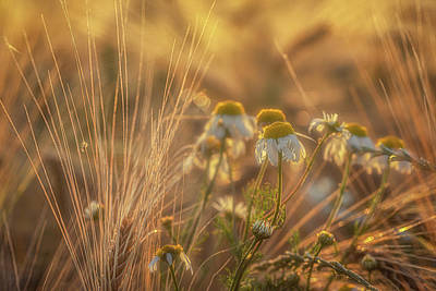 World Forgotten Rights Managed Images - Barley and Daisies No 8 Royalty-Free Image by Chris Fletcher