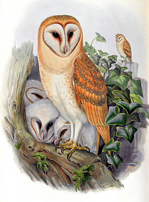 Painting Royalty Free Images - Barn Owl Royalty-Free Image by John Gould