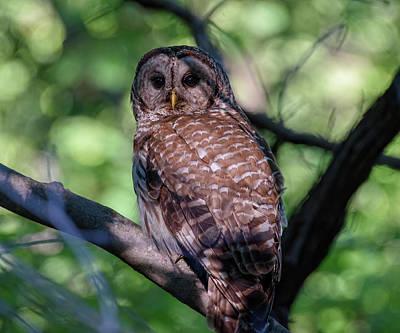 Rose - Barred Owl Encounter by Lara Ellis