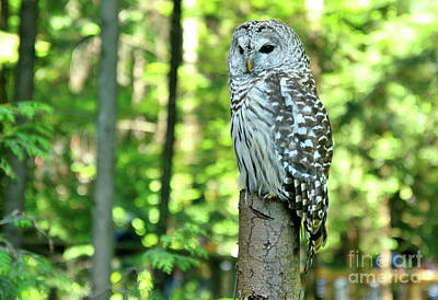 Mellow Yellow - Barred Owl by Joe Ng