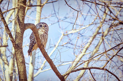 Vintage Presidential Portraits - Barred Owl Posing by Francis Sullivan