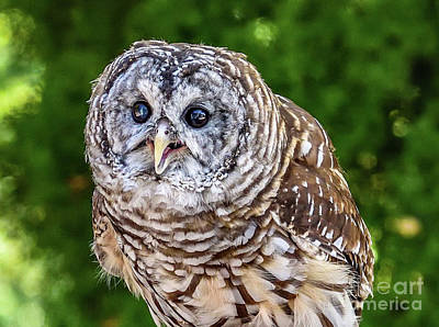 Animals Photos - Barred Owl - The Eyes Have It by Cindy Treger