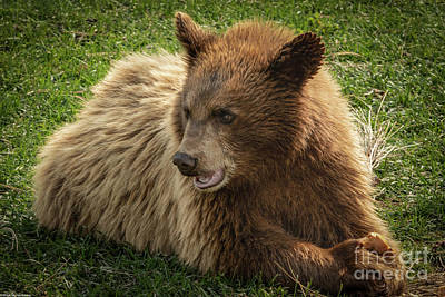 Rights Managed Images - Bear Cub 7 Royalty-Free Image by Mitch Shindelbower