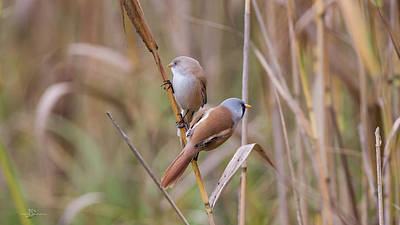 Rights Managed Images - Bearded Tits or Bearded Reedlings couple on a straw Royalty-Free Image by Torbjorn Swenelius