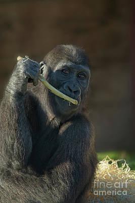 Photo Royalty Free Images - Beautiful Baby Gorilla Shufai Royalty-Free Image by Rawshutterbug