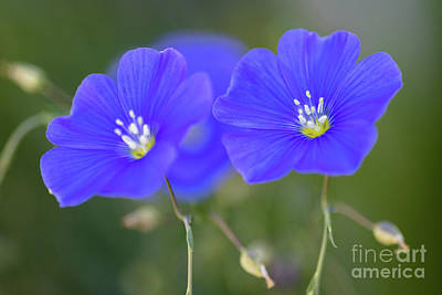 Mellow Yellow - Beautiful Blue Flax Flowers by Janice Noto