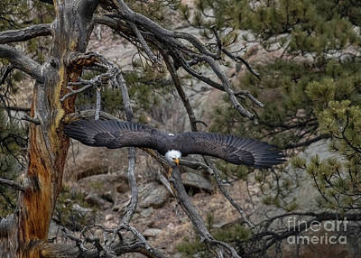 Steven Krull Royalty-Free and Rights-Managed Images - Beautiful Eagle Spreading Wings by Steven Krull