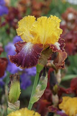 Modern Man Rap Music - Beauty Of Irises. Darcys Choice 4 by Jenny Rainbow