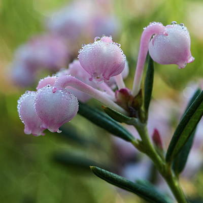 David Bowie Royalty Free Images - Beauty on the wetlands. Bog Rosemary Royalty-Free Image by Jouko Lehto