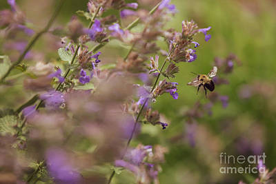 Everett Collection - Bee Amongst the Catmint Flowers by Diane Diederich