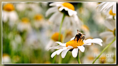 Vermeer Rights Managed Images - Bee at work Royalty-Free Image by Chris Bee Photography
