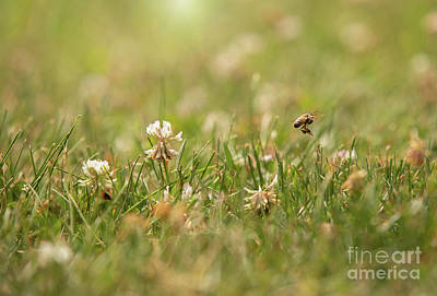 Royalty-Free and Rights-Managed Images - Bee in the Clover by Diane Diederich