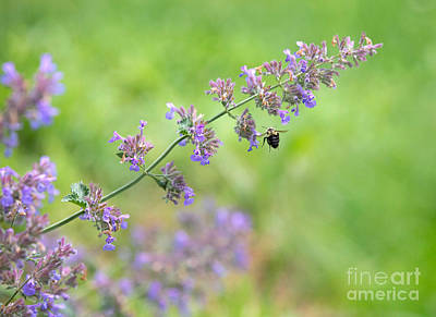 Royalty-Free and Rights-Managed Images -  Bee on a Catmint Plant by Diane Diederich