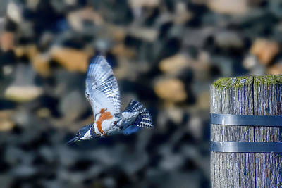 Photograph - Belted Kingfisher by Myer Bornstein