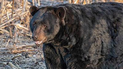 Spot Of Tea Royalty Free Images - Big Black Bear Boar Royalty-Free Image by Fon Denton