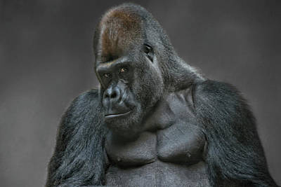 Recently Sold - Animals Royalty-Free and Rights-Managed Images - Big Silverback Gorilla by Joachim G Pinkawa