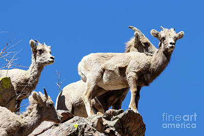 Steven Krull Royalty-Free and Rights-Managed Images - Bighorn Sheep Perched on a Rock by Steven Krull