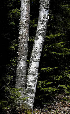 Photograph - Birches nestled in the pines by Gregory Steele