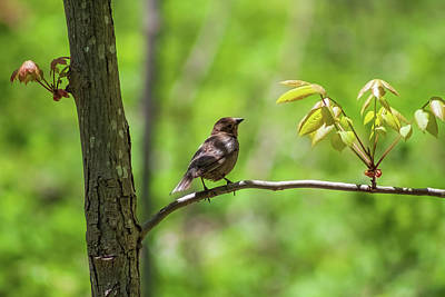 Animals Royalty-Free and Rights-Managed Images - Bird on a Springtime Branch by David Beard
