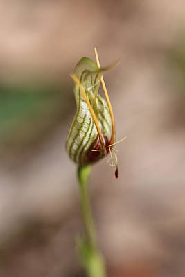 Whimsically Poetic Photographs Rights Managed Images - Bird Orchid 2 Royalty-Free Image by Michaela Perryman