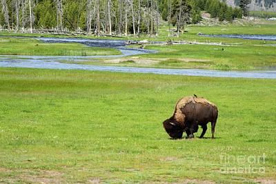 Animal Watercolors Juan Bosco - Bison Grazing Yellowstone by O Chip Robinson