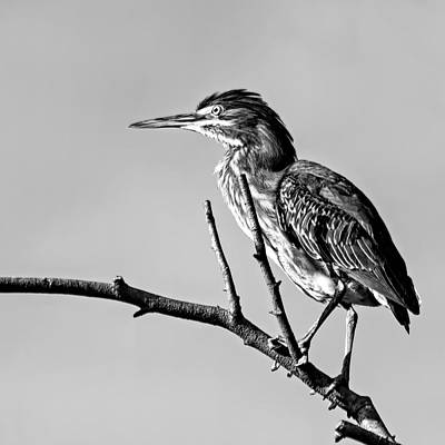 Vermeer Rights Managed Images - Black And White Heron Royalty-Free Image by Francis Sullivan