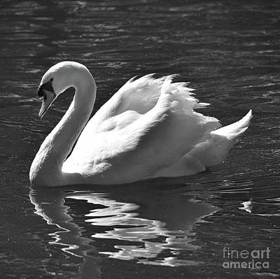 Sean Rights Managed Images - Black And White Mute Swan Royalty-Free Image by Skip Willits