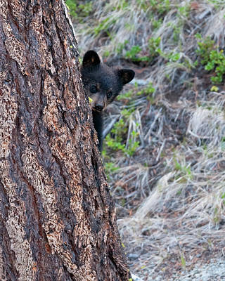 Nirvana - Black Bear Cub peeking  by Gary Langley