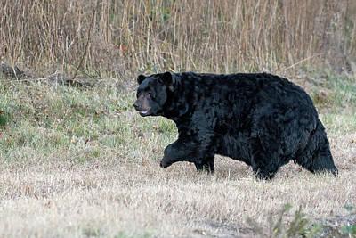 American Milestones - Black Bear on the Move by Fon Denton