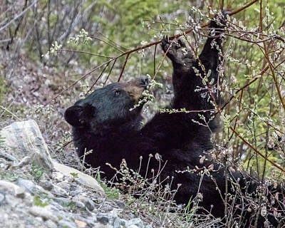 Travel Rights Managed Images - Black Bear Relaxing While Eating Flora Royalty-Free Image by Belinda Greb