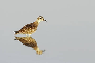 Lori A Cash Royalty-Free and Rights-Managed Images - Black-bellied Plover Reflection by Lori A Cash