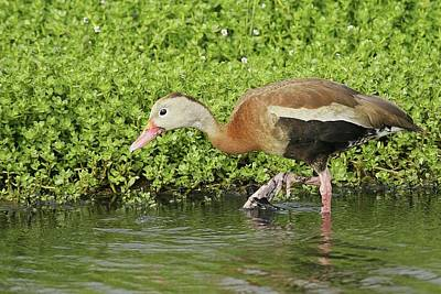 Lori A Cash Royalty-Free and Rights-Managed Images - Black-Bellied Whistling Duck Walking by Lori A Cash